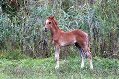 Alter arabischer Colt der schönen wenigen Wochen, der Sommerweide weiden lässt Stockbilder