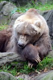 Alter Bär lizenzfreies stockfoto