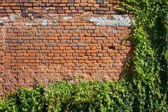 Alter Backsteinmauer-Hintergrund mit Kriechpflanzen lizenzfreie stockfotografie