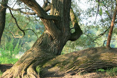 Alter Baum Stockbilder