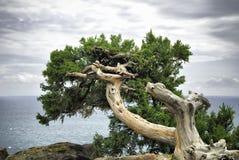 Alter Baum auf einem Felsen Stockfotografie