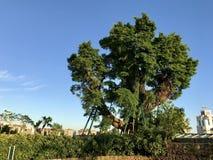 Alter Baum auf Pao Tai Shan Stockfoto
