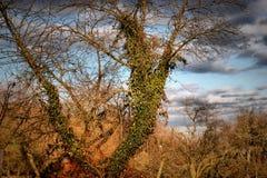Alter Baum bedeckt mit Efeu Lizenzfreies Stockbild