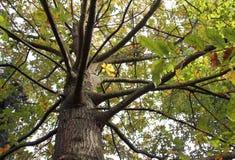 Alter Baum am botanischen Garten von Macea, Rumänien Stockfotografie
