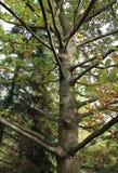 Alter Baum am botanischen Garten von Macea, Rumänien Stockbilder