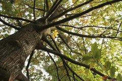 Alter Baum am botanischen Garten von Macea, Rumänien Lizenzfreies Stockbild