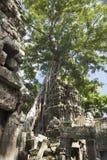 Alter Baum in den Ruinen Stockfoto
