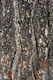 Alter Baum der Barke Stockbild