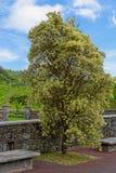 Alter Baum in der Insel von Sao Miguel stockfotos