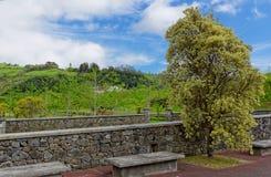 Alter Baum in der Insel von Sao Miguel lizenzfreie stockfotografie