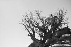 Alter Baum in der Wüste im Weiß und im Schwarzen Lizenzfreies Stockfoto