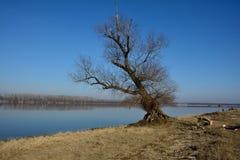 Alter Baum durch den Fluss Donau Lizenzfreies Stockfoto