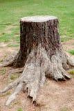 Alter Baum geschnitten mit den Wurzeln groß Stockfotografie