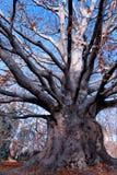 Alter Baum im Fall Lizenzfreie Stockfotografie