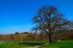 Alter Baum im Frühjahr Stockfotos