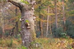 Alter Baum im Herbstwald Lizenzfreies Stockfoto