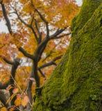 Alter Baum im Herbstwald Lizenzfreie Stockfotos