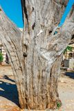 Alter Baum im Hof des Basilika Arkadi-Klosters auf Kreta Lizenzfreie Stockfotografie