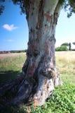 Alter Baum im Park von Katakomben Sans Callisto in Rom Stockbilder