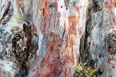 Alter Baum im Park von Katakomben Sans Callisto in Rom Stockfoto