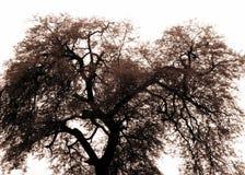 Alter Baum mit breiten Verbreitungsniederlassungen Lizenzfreies Stockbild