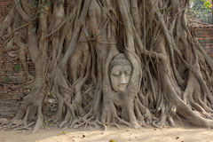 Alter Baum mit Buddha-Kopf Stockbilder