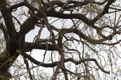 Alter Baum mit den verdrehten und gekräuselten Niederlassungen Stockfotos