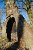 Alter Baum mit einer Höhle Lizenzfreie Stockbilder