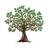 Alter Baum mit grünen Blättern, Wurzeln und roten Äpfeln Lizenzfreie Stockbilder