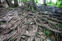 Alter Baum mit großen ausgebreiteten Wurzeln Stockfotos