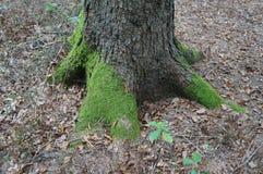 Alter Baum mit großen Wurzeln Lizenzfreie Stockbilder