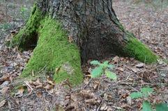 Alter Baum mit großen Wurzeln Stockbilder