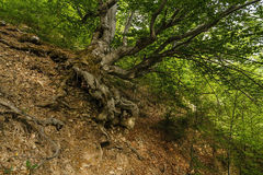 Alter Baum mit großen Wurzeln Stockfotografie