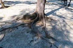 Alter Baum mit großen Wurzeln in Thailand Lizenzfreies Stockbild