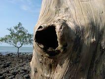 Alter Baum mit Loch Lizenzfreie Stockbilder