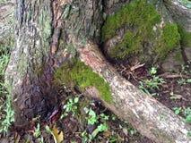 Alter Baum mit Moos Stockfotografie