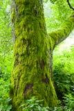 Alter Baum mit Moos im Wald Lizenzfreies Stockfoto