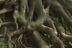 Alter Baum mit Wurzeln Lizenzfreie Stockbilder