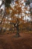 Alter Baum nahe dem Belintash-Schongebiet, Bulgarien Stockbild