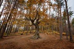 Alter Baum nahe dem Belintash-Schongebiet, Bulgarien Lizenzfreie Stockfotografie
