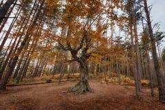 Alter Baum nahe dem Belintash-Schongebiet, Bulgarien Lizenzfreie Stockbilder