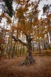 Alter Baum nahe dem Belintash-Schongebiet, Bulgarien Stockfotografie