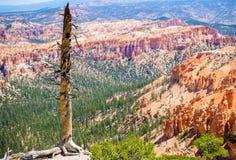 Alter Baum in Nationalpark Bryce Canyons, Utah, USA Stockbild