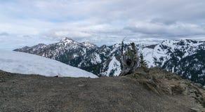 Alter Baum-olympische Berge Stockfotografie
