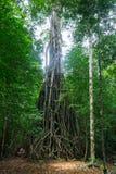 Alter Baum in Peucang-Insel Lizenzfreie Stockbilder
