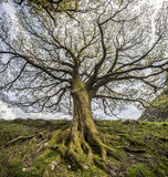 Alter Baum, Schottland Lizenzfreie Stockbilder