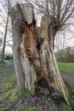 Alter Baum-Stamm aufgespaltet durch Blitz Stockbilder