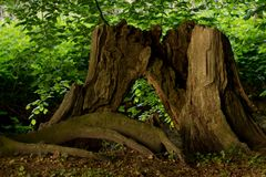 Alter Baum-Stumpf Stockbilder