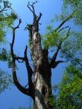 Alter Baum und Bambus Stockbild