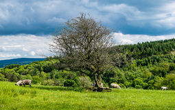 Alter Baum und Lämmer auf Bauernhof Lizenzfreie Stockfotos